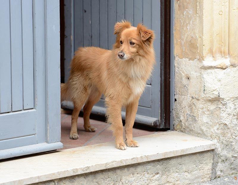 comportementaliste canin à distance ou en présentiel